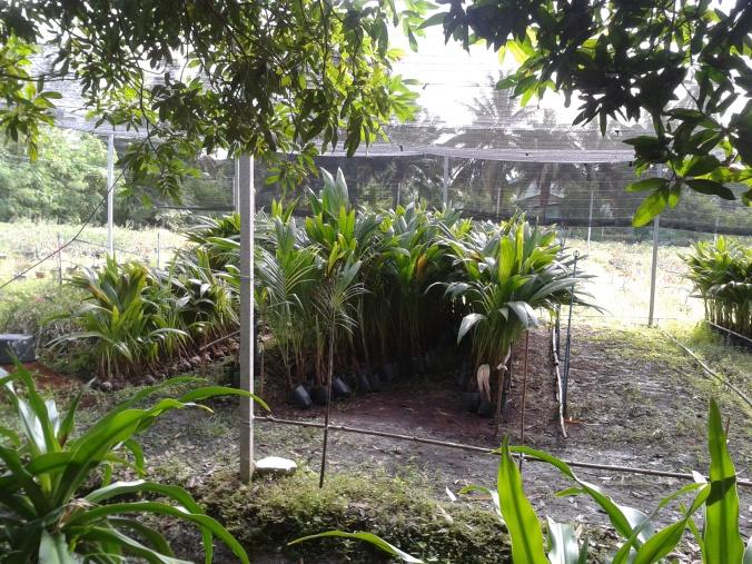 ต้นมะพร้าวเตรียมปลูก